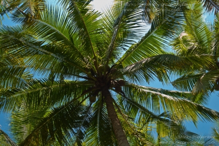 Coconuts hanging over Mekong