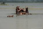 Sacred hippos of Tengrela lake, Burkina Faso